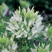 Cleome Helen Campbell - 150 seeds